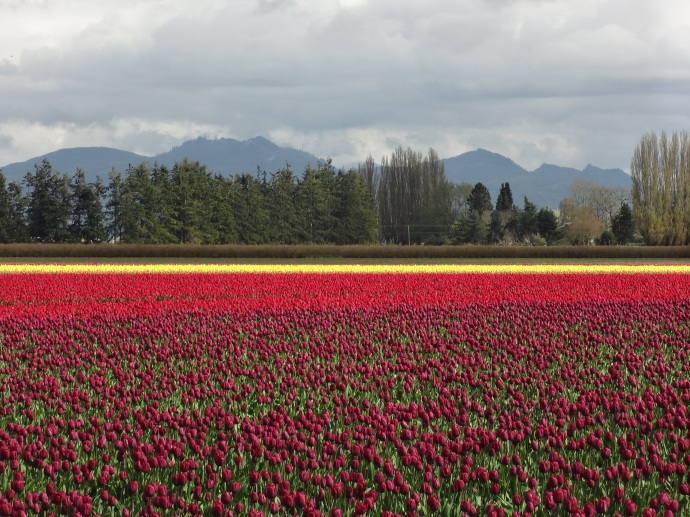 Tulip Fields - Skagit Valley