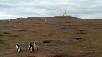 magdelena-island-penguins-walking